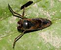 Water Bug - Notonecta irrorata