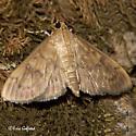 brown moth - Psara obscuralis