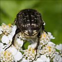 Bettle type bug nectarine - Euphoria sepulcralis