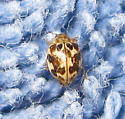 Twenty-spotted Ladybug - Psyllobora vigintimaculata