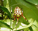 Marbled Orb Weaver (Araneus marmoreus) ? - Araneus marmoreus