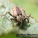Alfalfa Leaf Weevil - Hypera postica