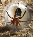spida - Castianeira longipalpa - female
