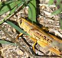 grasshopper, American or Gray Bird ? - Schistocerca americana