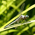 Great blue skimmer dragonfly  - Libellula vibrans - male