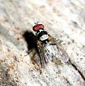Fly - Anthomyia oculifera - male