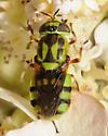 Green Soldier Fly - Hedriodiscus binotatus - female