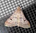 unid. moth - Bleptina caradrinalis