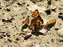 Looks like a party! - Phyciodes tharos