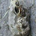 They hatched :) - Orgyia leucostigma