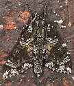 Moth to porch light - Dolba hyloeus