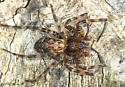 spider - female
