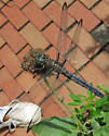Great Blue Skimmer - Libellula vibrans - female
