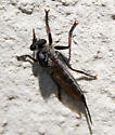 Unkown flying insect/ Efferia - Efferia