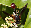 Wasp - Zethus slossonae - female