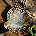 butterfly - Pyrgus oileus - male