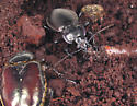 Dinner with Nemo - Carabus nemoralis - male