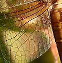 Skimmer - Libellula needhami