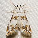 4788 - Oxyelophila callista