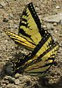 butterfly 1 - Papilio glaucus