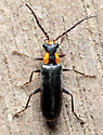 Beetle - Rhagonycha