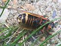 Another striped periodical cicada - Magicicada septendecim