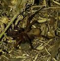 Spider - Antrodiaetus