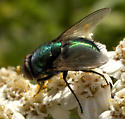 Common Green Bottle Fly? - Lucilia - male