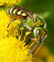 Bee - Agapostemon texanus - male