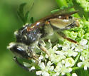 Andrena