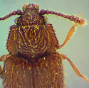 Henoticus sp. - Henoticus californicus - male