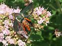 Large orange and black nectar drinking fly or similiar - Melittia cucurbitae