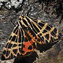Tiger Moth sp - Apantesis ornata