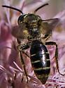 Mining Bee - Andrena