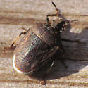 Small Shield Bug - Amaurochrous