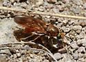 fly species? - Hermetia concinna
