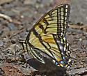 Swallowtail 5691 - Papilio canadensis