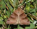 unidentified moth 7 - Caenurgina crassiuscula