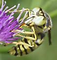 white-faced wasp - Steniolia - female
