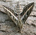 White-lined Sphinx - Hyles lineata