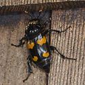 Fungus Beetle? - Nicrophorus orbicollis
