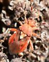 Red Bug - Arhyssus