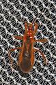 Assassin Bug? - Oncerotrachelus acuminatus