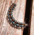Blue-gray & orange & black tufted caterpillar  - Malacosoma constrictum