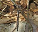 Uhler's Sundragon - Helocordulia uhleri - male
