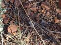 Fuzzy bug found in the Mountains in El Paso - Dasymutilla