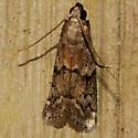 American Wax Moth - Hodges #6007 - Vitula edmandsii