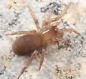 spider - Cicurina itasca