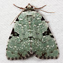 Green Leuconycta - Hodges#9065 - Leuconycta diphteroides