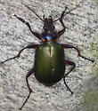 Ground Beetle IMG_0673 - Calosoma scrutator